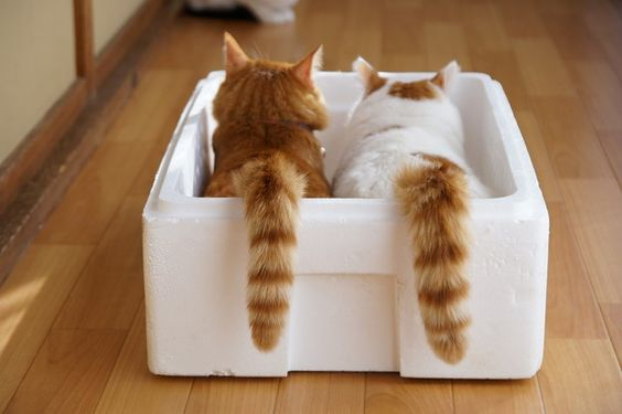 tora and shiro in a box.jpg