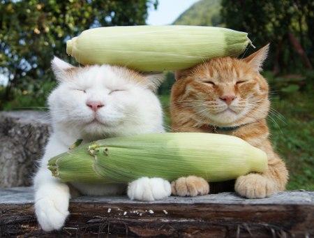 tora and shiro balancing corn